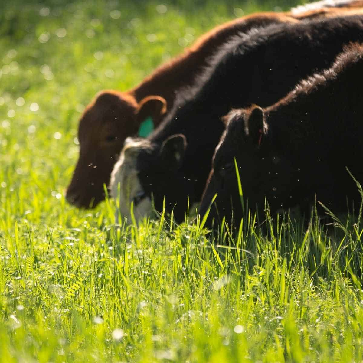cows eating grass - Eating Sticks of Butter on Keto: A Nutritionist and a Dr. Way In