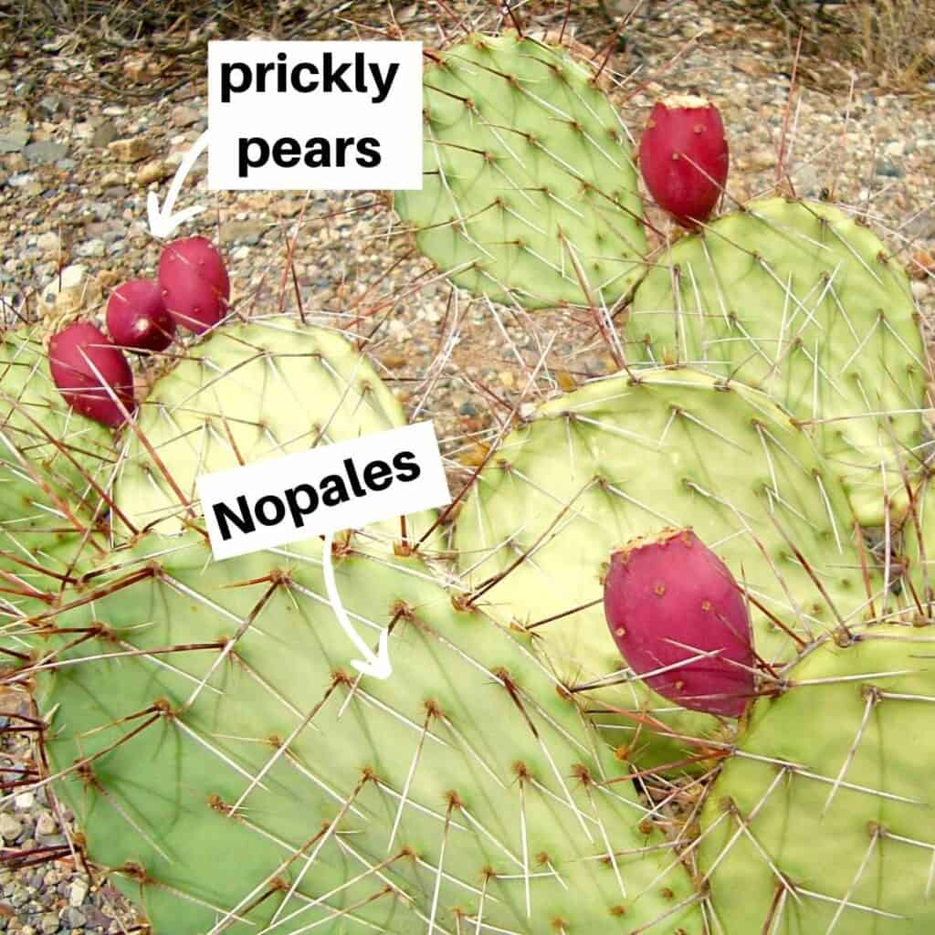 parts of the cactus 1024x1024 - Are Nopales Keto